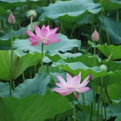 Lotus In Water Plant Diagram 24 Volt Transformer Wiring Live Pond Plants