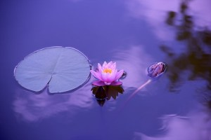 Peaceful Lotus on a water