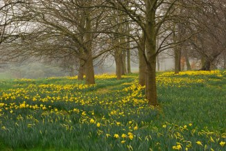 MarieCurie daffodils - Sefton Park
