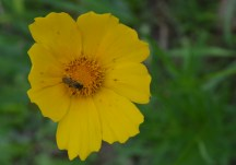The tickseed variety of Coreopsis.