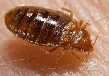 Bedbug. Courtesy of CDC/ Harvard University, Dr. Gary Alpert; Dr. Harold Harlan; Richard Pollack. Photo Credit: Piotr Naskrecki