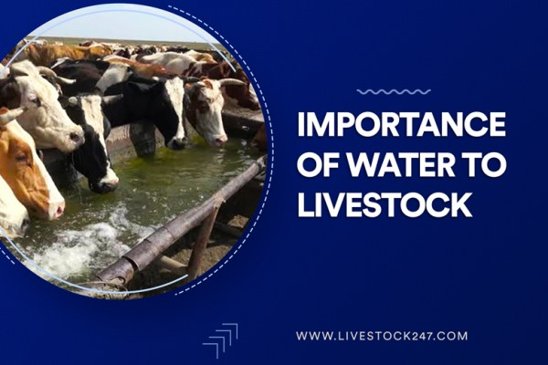 Importance of water to livestock