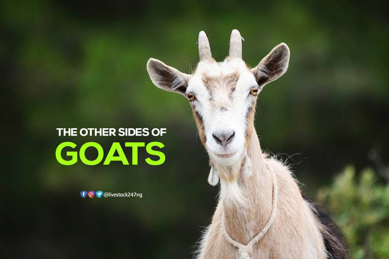 The Other Sides of Goat