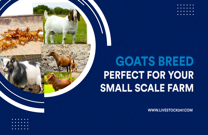 Goats Breeds Perfect For Your Small Scale Farm