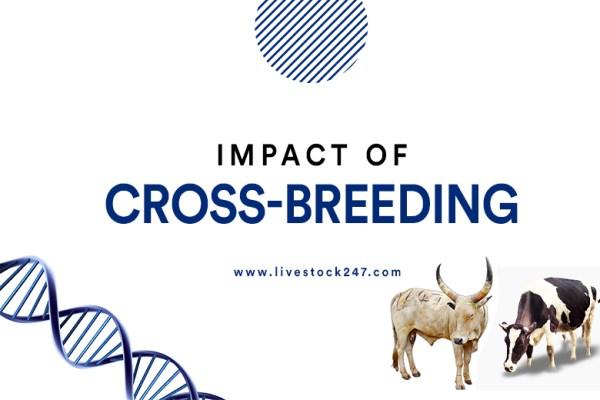Impact of cross - breeding