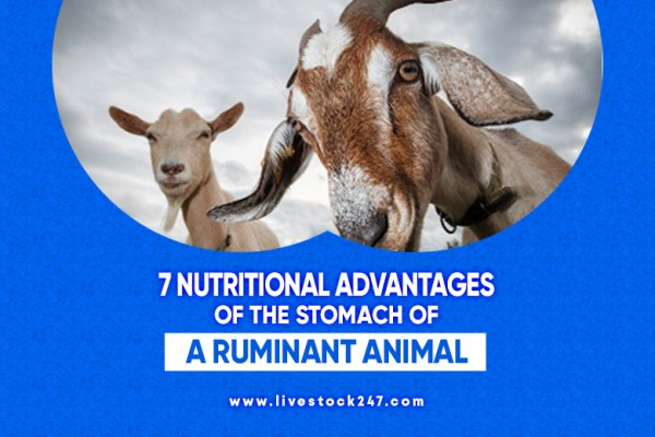 7 Nutritional Advantages of the Stomach of a Ruminant Animal
