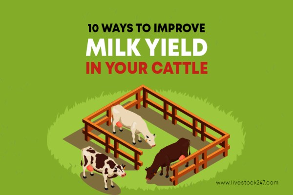 10 ways to improve milk yield in your cattle