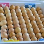 fertilized eggs for hatching