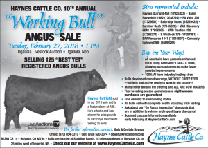 Haynes Cattle Co. 10th Annual Working Bull Angus Sale @ Ogallala Livestock Auction | Ogallala | Nebraska | United States