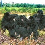 Gorillas on The Run