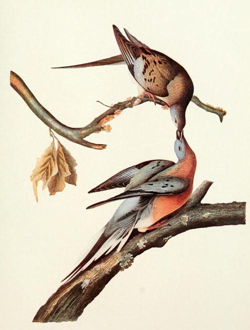 En vacker illustration föreställande duvor, utförd av konstnären Audubon.