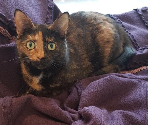 Fotografi på den spräckliga katten Sessan, som ligger på en lila kappa och tittar rakt in i kameran.
