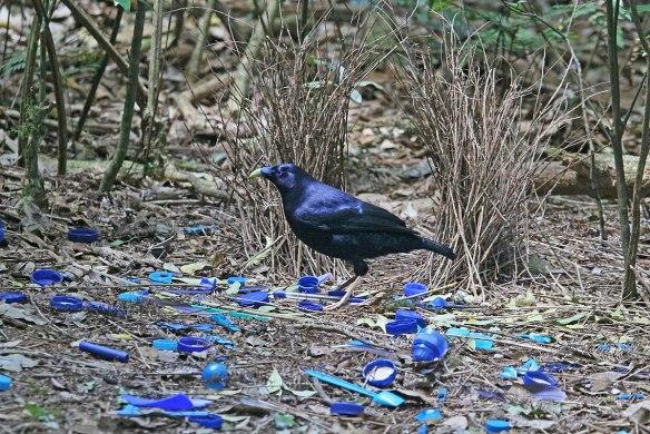 Ett fotografi som visar en blåskimrande fågel som står på marken omgiven av blåa detaljer, såsom blomblad och kapsyler.