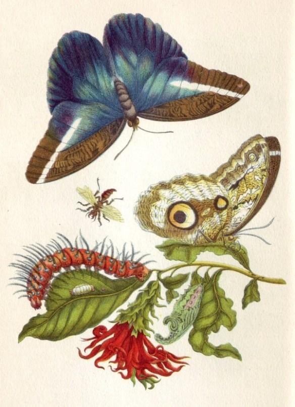 En botanisk illustration med fjärilar, puppa och larv på en växt.