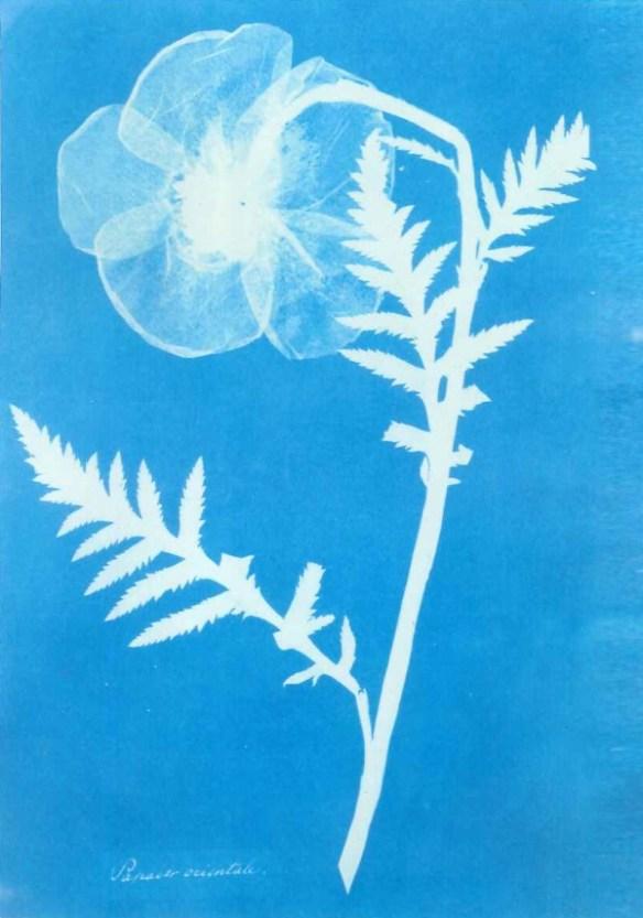 Fotografisk bild föreställande en blomma, gjord med metoden cyanotypi. Blomman avtecknar sig som en vit siluett mot en blå bakgrund.