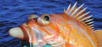 Barotrauma in a Rockfish
