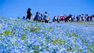 Hitachi Seaside Park Nemophila - Ibaraki 09
