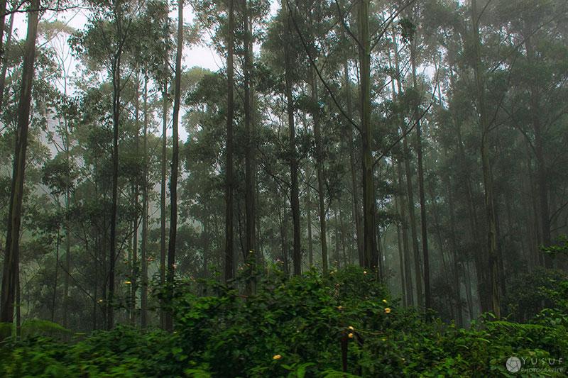 munnar-trees