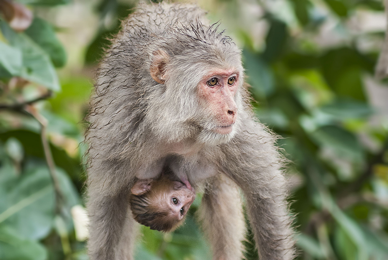 Mother monkey
