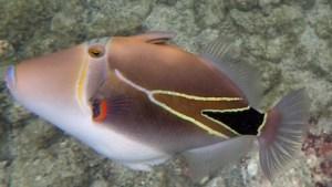 Humuhumunukunukuapua'a (or Reef Trigger fish) at Kahaluu Beach Park, Big Island, Hawaii