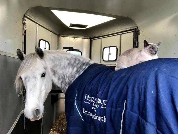 O pisică siameză a devenit cea mai bună prietenă a unui ponei. O poveste care ne arată că animalele ştiu ce înseamnă prietenia