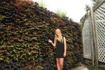 Sweet Potato Vine In Vertical Garden Livewall Green Wall