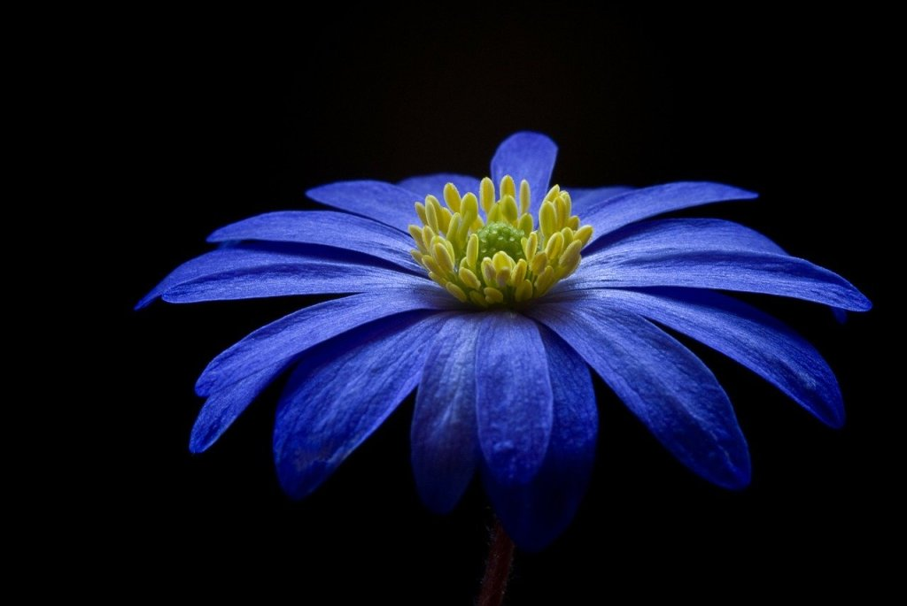 anemone-56414_1280 (1)