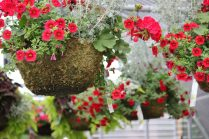 hanging flower basket in greenhouse