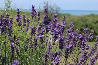 lavender in northern MI, photo by Rockwell Art & Design