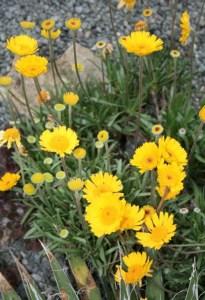 Stemless Daisy Blog