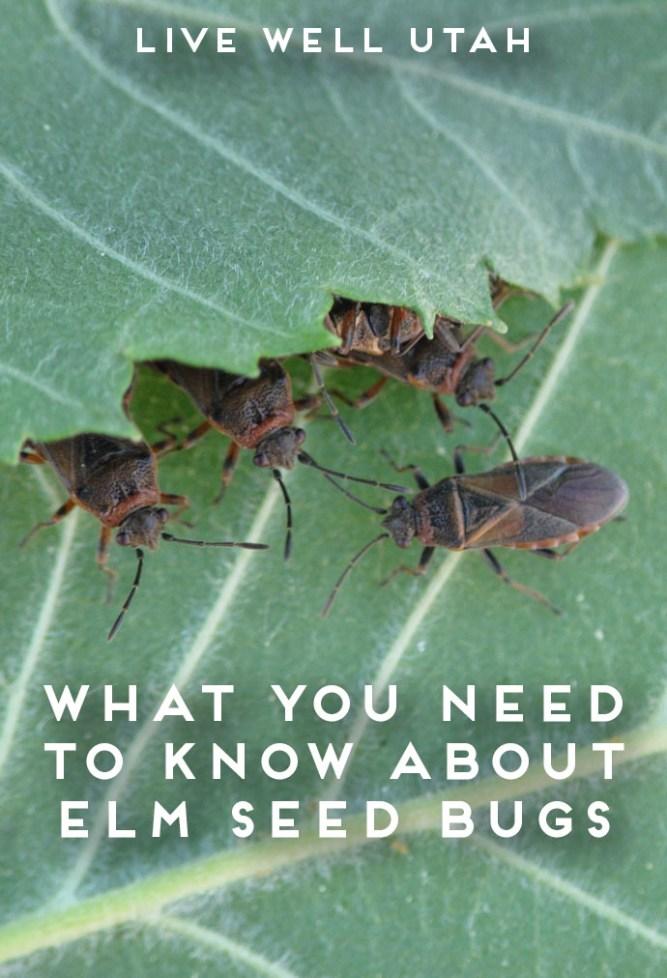 Elm Seed Bugs