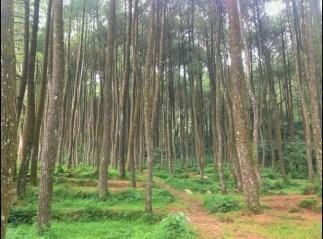 area kemping hutan pinus