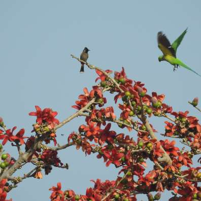 Red-vented Bulbul and Rose-Ringed Parakeet