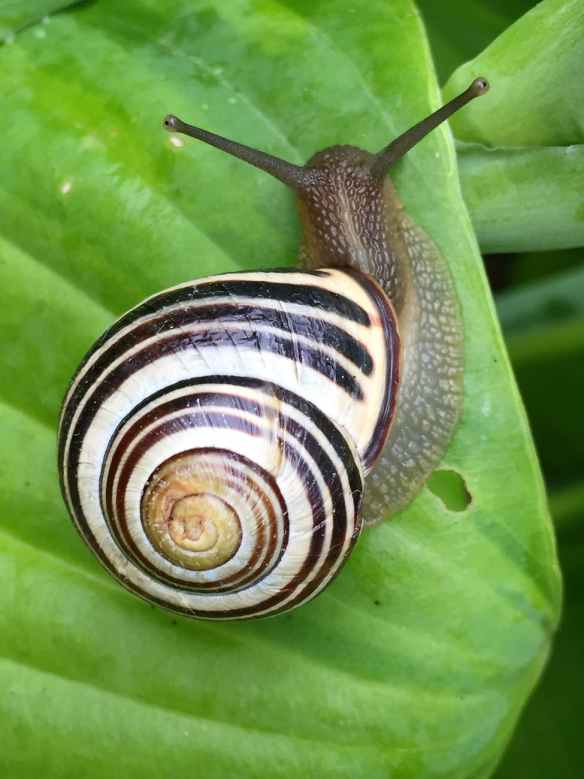 white black and brown snail on green leaf