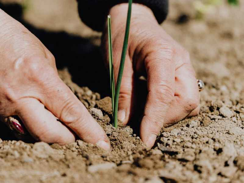 crop faceless woman planting seedling into soil