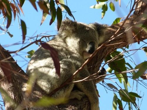 magnetic_island_koala2.jpg.jpg