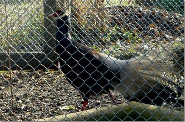 möhringer_hexenweg_pheasant