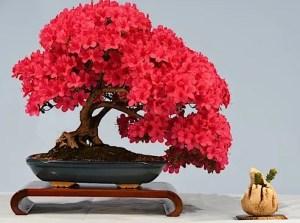 Canberra Bonsai Society Annual Show