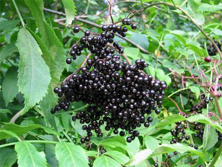 Medicinal Herb of the Day: Elderberry (sambucus sp.)