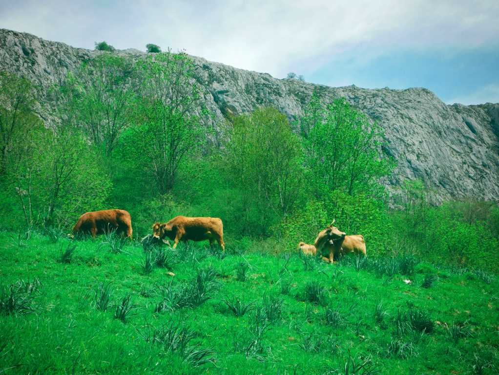 Cows in Bulnes