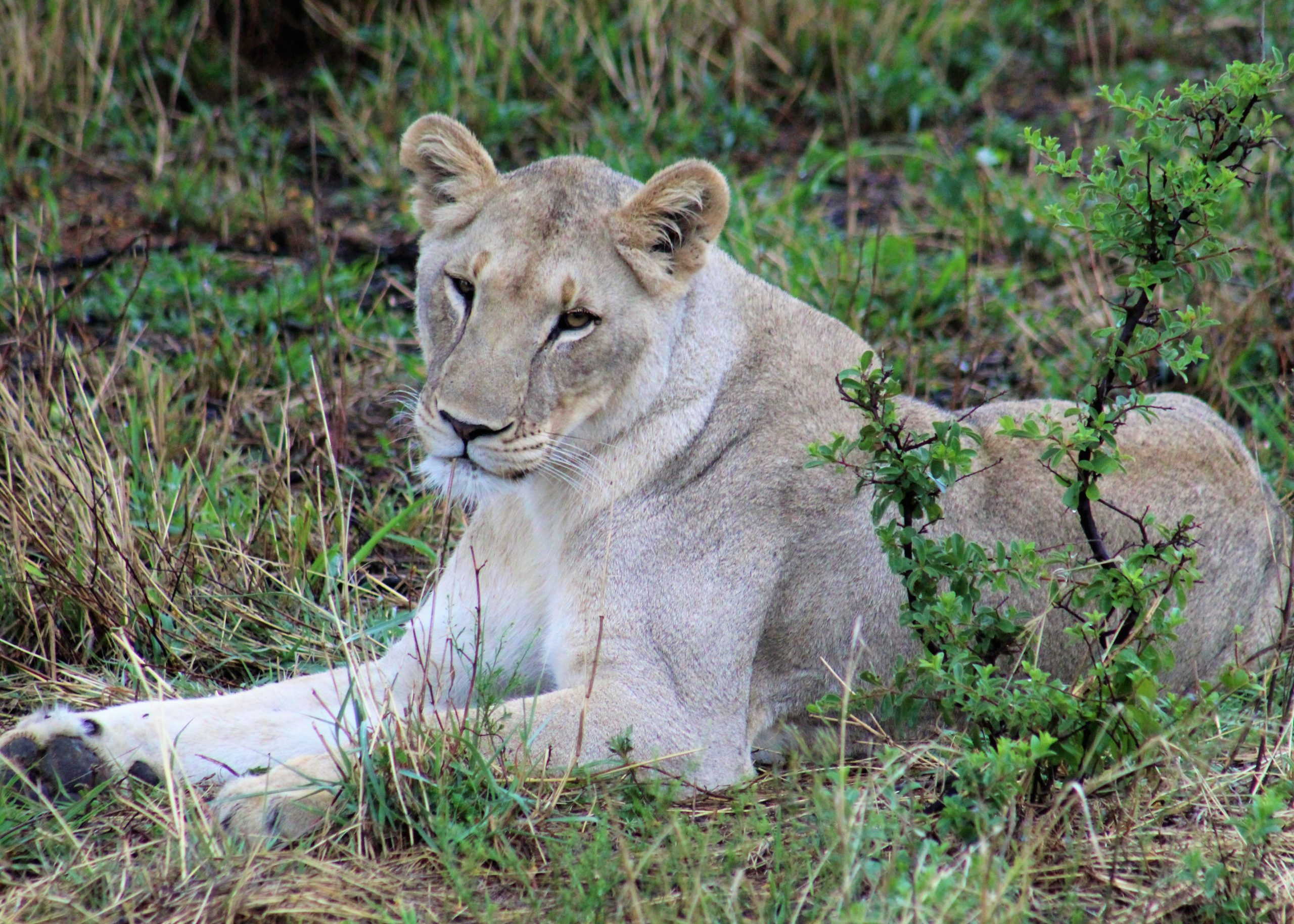 Lioness on our game drives in South Africa