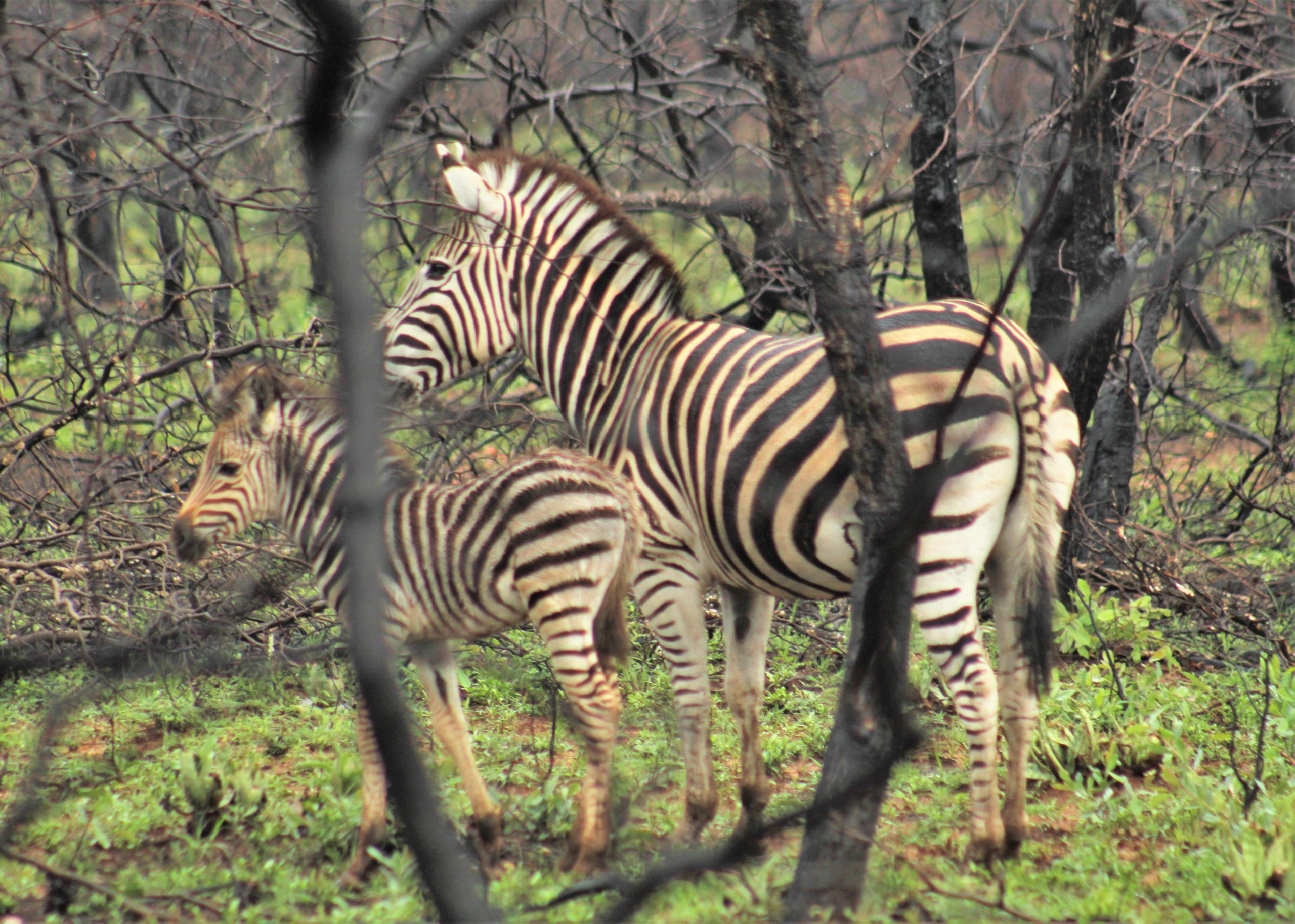 Mom and baby zebra on game drives in South Africa