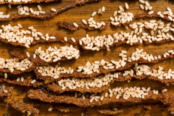 Ant Larvae and Ant Eggs