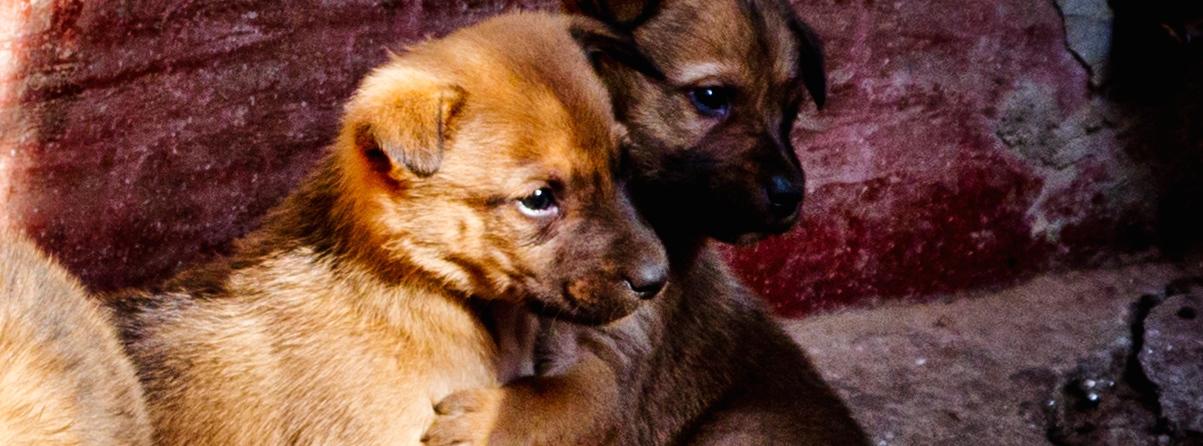 Nepal-puppies-2