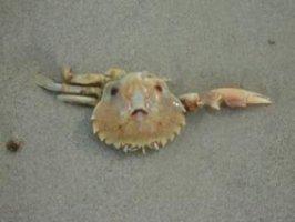 Mocking Like a Crab???