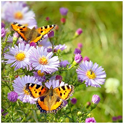 Image of lavendar and purple flower with butterflies Make the most of my backyard