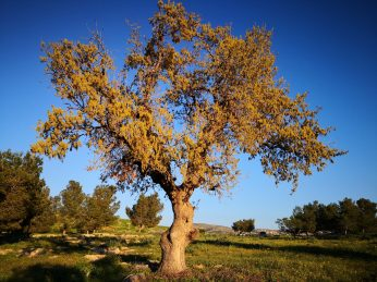 Tree in Northern Jordan
