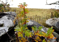 Plants in the Burren