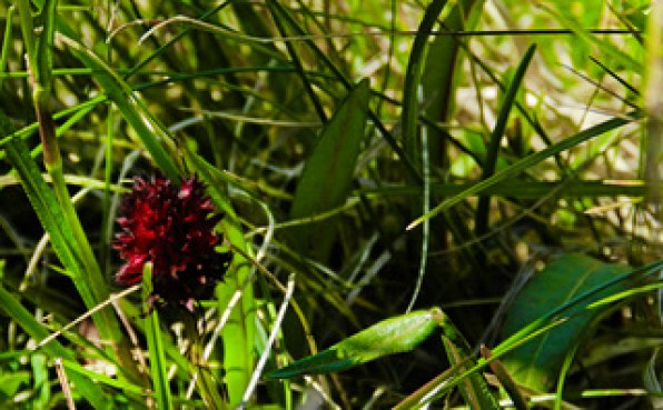 The flora of Mount Rigi, Centrall Switzerland