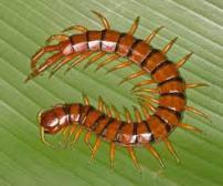 Centipedes in PR